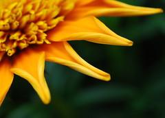 Orange is the happiest colour. (gardinergirl) Tags: orange flower macro green blossom bokeh petal bloom curledup striped onmybalcony explored 60mm28micro