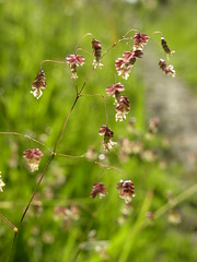 Quaking Grass (Giles C. Watson) Tags: grass botanical flora poem quaking brizia