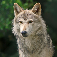 Grey Wolf (Gary's Photos!!) Tags: ireland dublin dog nature animal canon photography eos grey zoo photo wolf foto wildlife gray canine lupus graywolf greywolf 500d canis canislupus canidae garywilson aplusphoto platinumheartaward goldwildlife itsazoooutthere flickrlovers vosplusbellesphotos