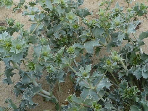 Les plantes piquantes et urticantes . 3664798062_8a702f8b89