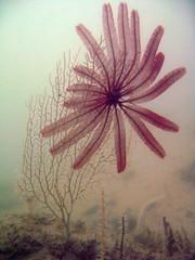 Crinoid on seafan