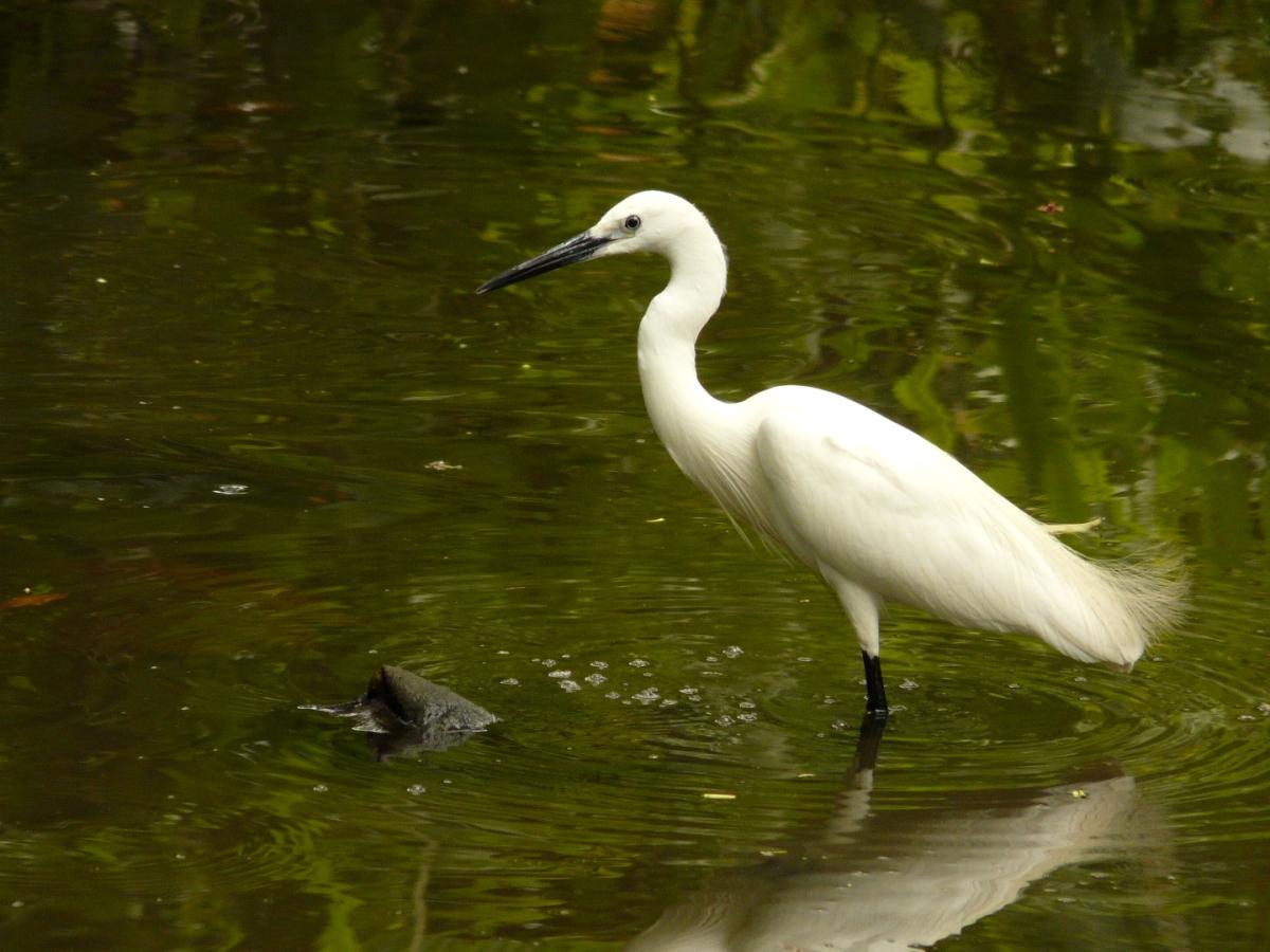 Little Egret (Egretta garzetta) - 小白鷺