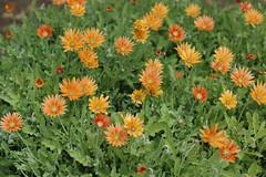 Orange Flowers (GirlOnAMission) Tags: flowers june 2009 psu