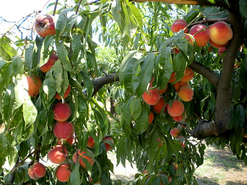 Sauvie Island's Peaches