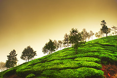 Misty Day (matey_88 ( OFF )) Tags: travel trees india tourism misty garden nikon day tea majid matey mohamed munnar d700