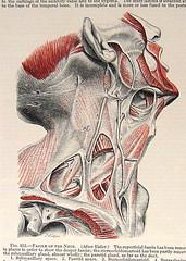1933 Vintage Anatomy Book Plate (ninainflorida) Tags: muscles print skeleton skull heart brain anatomy bones bookplate 1933 paperephemera