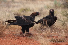 2 Wedge tailed eagles discussing who's road kill it is (Truckaus) Tags: eagle australia wedgetailedeagle