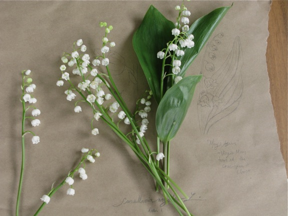 lily of the valley botanical diagram 009