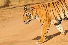 Tiger - Bandhavgarh, India (Ami 211) Tags: india tiger bigcats panthera pantheratigris bandhavgarh felidae pantherinae