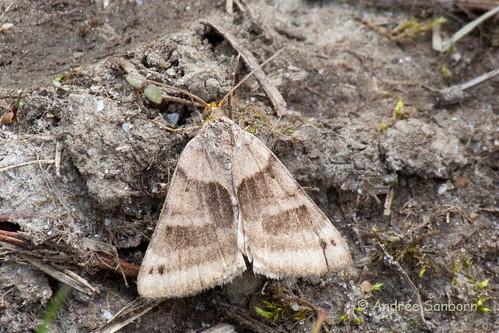 Geometer Moth-3.jpg