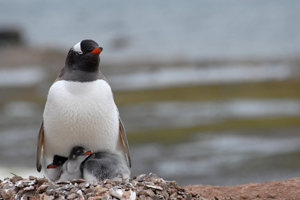 Gentoo penguin & chicks, Antarctic Peninsula