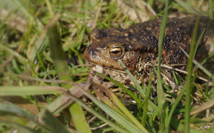 Common Toad~Bufo bufo (jump for joy2010) Tags: uk england nature march wildlife somerset amphibians 2014 bufobufo commontoad somersetlevels chilcottmoor