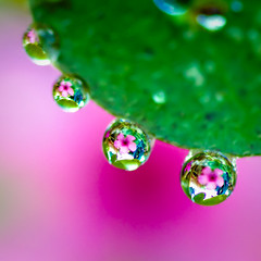 ...every raindrop carried a thought of you... (Geoff...) Tags: pink flower green nikon bokeh tammy naturallight australia drop refraction droplet canberra spikey sorrell inthegarden tamron90mmmacro d80 bej ahqmacro tamron2xtele vosplusbellesphotos lushpupimages lushpup