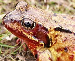 Frog or Toad (Jennie Anderson) Tags: macro eye amphibian frog toad jennieanderson