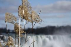 Plant (kenyaya) Tags: winter ontario canada water canon rebel niagarafalls natural niagara falls xs 1000d