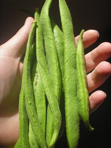 Beans crop