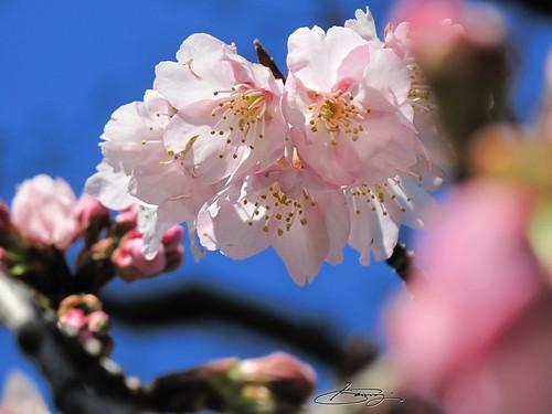 安行桜。。。咲き始め!