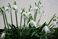 spring (Stephi 2006) Tags: nice snowdrops