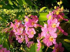 ดอกอินทนินบก Flower in Pink