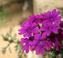 To all the lovely ladies on Flickr! (Gauri V) Tags: flower purple womensday gogirl bhandardara 8thmarch dontquit gauriv