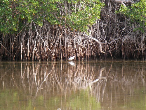 White Bird in Mangroves