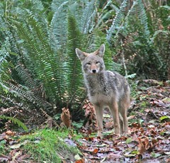 Coyote in Woods ~ Part 1 (Peggy Collins) Tags: coyote autumn canada fall nature animal forest woods britishcolumbia wildlife pacificnorthwest curious ferns predator penderharbour sunshinecoast curiousity peggycollins