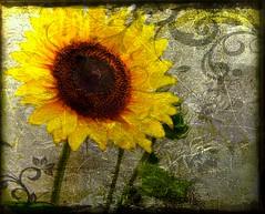 Twisted Journey (tonyj19) Tags: flower texture dark heather sunflower bloom twisted tonyj