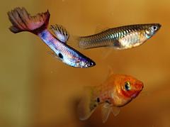 guppies and platy (Felicia McCaulley) Tags: aquarium guppy platy livebearer