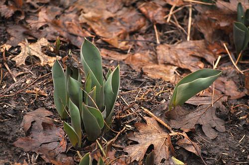 Tulip Time Lapse 5