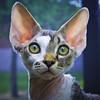 Aspen ♥ (kotobuki711) Tags: pink blue sun cute male green yellow cat silver fur nose kitten sitting florida sweet tabby kitty ears whiskers perch curious aspen windowsill devonshire devonrex cc100