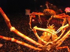 Spider-Like (Autumn84) Tags: trip travel atlanta winter georgia fun aquarium spider us away creepy entertainment georgiaaquarium february coool crawling 2009 longlegs seaspiders fishseaoceanbluecoolsea lifeweekendweekend