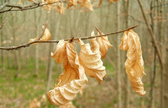 Dried Leaves (Dominic's pics) Tags: park wood leaves forest woodland downs sussex early nationalpark spring brighton south great east crisp national curled dried 2009 southdowns stanmer southdownsnationpark