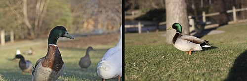 duck diptych