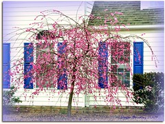 Cherry Blossoms and Blue Shutters (NIKONGERL / Please do not copy my images without p) Tags: pink flowers blue spring blossoms shutters cherryblossoms picnik hotpink nikond90