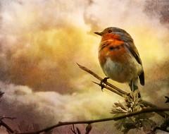 The survivor (Steve-h) Tags: ireland dublin orange white bird texture nature robin clouds fight beige branches attack hedge aggression steveh twighs fujifilmfinepixs100fs skeletalmess