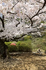 Approaching the End (Gaijin Photographer) Tags: city japan tokyo spring asia hanami