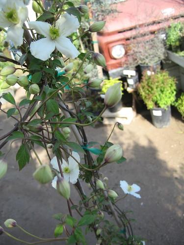 Clematis Montana 'Grandifolora'