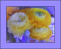 cadrageRIMG0637-2 (claudedelrieu21) Tags: flowers macro nature fleur photography amazing fabulous bourgogne finest pictureperfect damncool smorgasbord masterclass miltoniopsis blueribbonwinner encarnado supershot amazingtalent amazingshot flowerotica fantasticflower fineartphotos abigfave nikoniste platinumphoto anawesomeshot impressedbeauty flickrbest flickrplatinum ultimatshot superbmasterpiece naturefinest infinestyle diamondclassphotographer flickrdiamond ilovemypic flickrelite theunforgettablepictures masterphoto overtheexcellence macromix excellentphotgrapherawards theperfectphotographer floweria goldstaraward naturemasterclass macroflowerlovers montijoverdeamarelo excellentsflowers top20vivid superbmacroflowers natureelegantshots thepoweroftheflower wonderfulworldofflowers auniverseofflowers awesomeblossoms vosplusbellesphotos goldenvisions