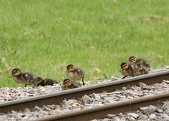 Watch for trains (Helena Pugsley) Tags: baby bird animal duck duckling marwellzoo 15challengeswinner marwellwildlife