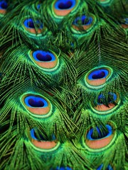 Indian Peafowl Tail (Andy von der Wurm) Tags: fab macro bird colors closeup fauna indian tail feathers colores explore makro farbig peafowl nahaufnahme vogel blauer pfau blueribbonwinner federn supershot flickrsbest golddragon hobbyphotograph platinumphoto colorphotoaward aplusphoto diamondclassphotographer flickrdiamond betterthangood theperfectphotographer coloursplosion damniwishidtakenthat dragondaggerphoto inspiredbyyourbeauty andreasfucke