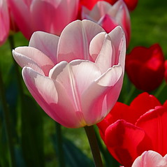 spring (rondendikken) Tags: pink flower nature fleur bulb canon spring natur flor natuur tulip blume fiore lente bloem tulp voorjaar bloembol colorphotoaward top20pink flowersarebeautiful excellentsflowers mimamorflowers flickrflorescloseupmacros fabbow thebestofmimamorsgroups todaysbest mygearandmepremium exclusievetuinen tuinplantenlentebloemen