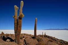 Isla Incahuasi, Salar de Uyuni, Bolivia (iancowe) Tags: cactus flat salt bolivia plain isla uyuni bolivian salardeuyuni incahuasi tahua