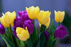 Some tulips (Jonne Naarala) Tags: closeup finland lightroom ibeauty canonef200mmf28liiusm