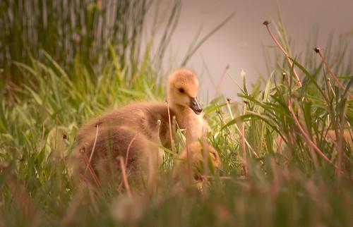 Sweet Baby Gooses