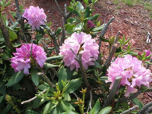 Rhododendron still alive