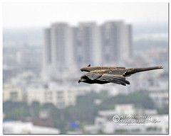 Black Kite (- Ariful H Bhuiyan -) Tags: kite black bird south blackkite dhaka chil pakhi bhubon