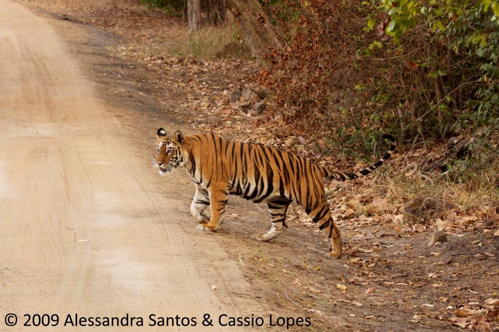 Chorbhera Tigress _MG_0762_F