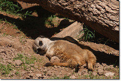 Meerkat (yosmama151) Tags: africa mammal zoo meerkat savannah oklahomacityzoo