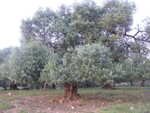 olive tree vamvakopoulo hania chania