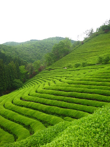 BoSung Green Tea Trip